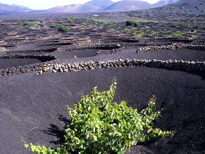 La Geria Vineyards of Lanzarote 2