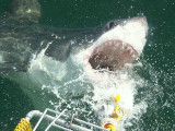 Go Cage Diving With The Sharks In Gansbaai South Africa