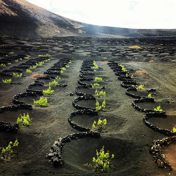 La Geria Vineyards Of Lanzarote, Spain