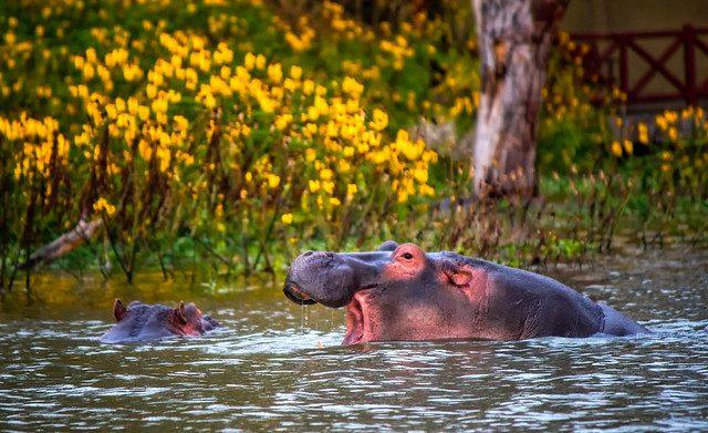 hippo lake naivasha kenya