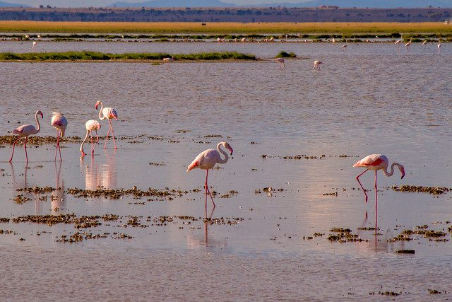 flamingo amboseli national park