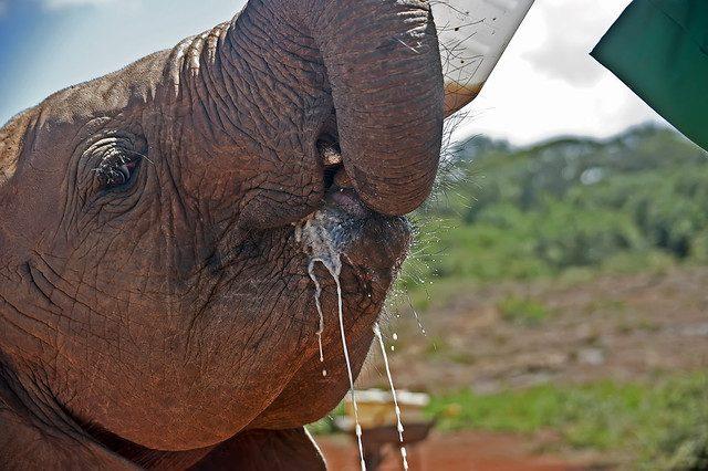 feeding baby elephant Visit The David Sheldrick Wildlife Trust