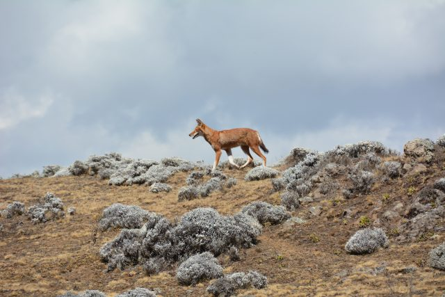 bale mountains ethiopian wolf