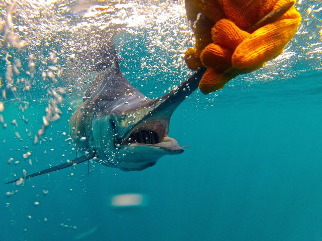 how to attract fish - marlin