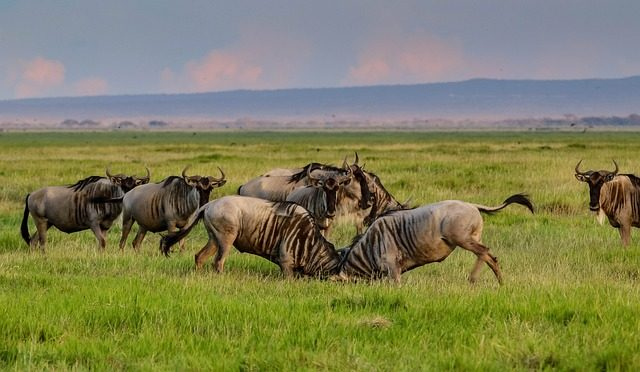 wildebesst amboseli national park