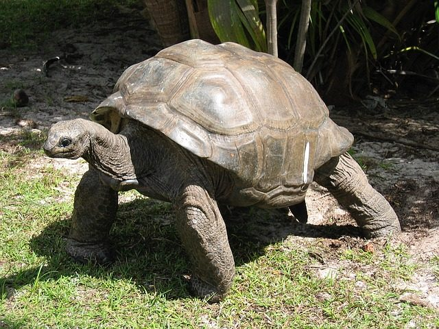 Things to do in mahe - giant tortoise