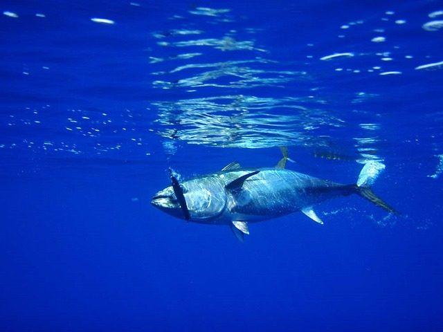 how to attract fish - tuna