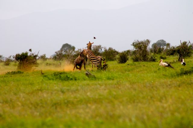 Visiting Tsavo East National Park - zebra