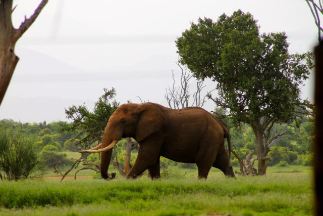 Visiting Tsavo East National Park - elephant