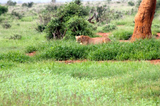 Visiting Tsavo East National Park - vlion
